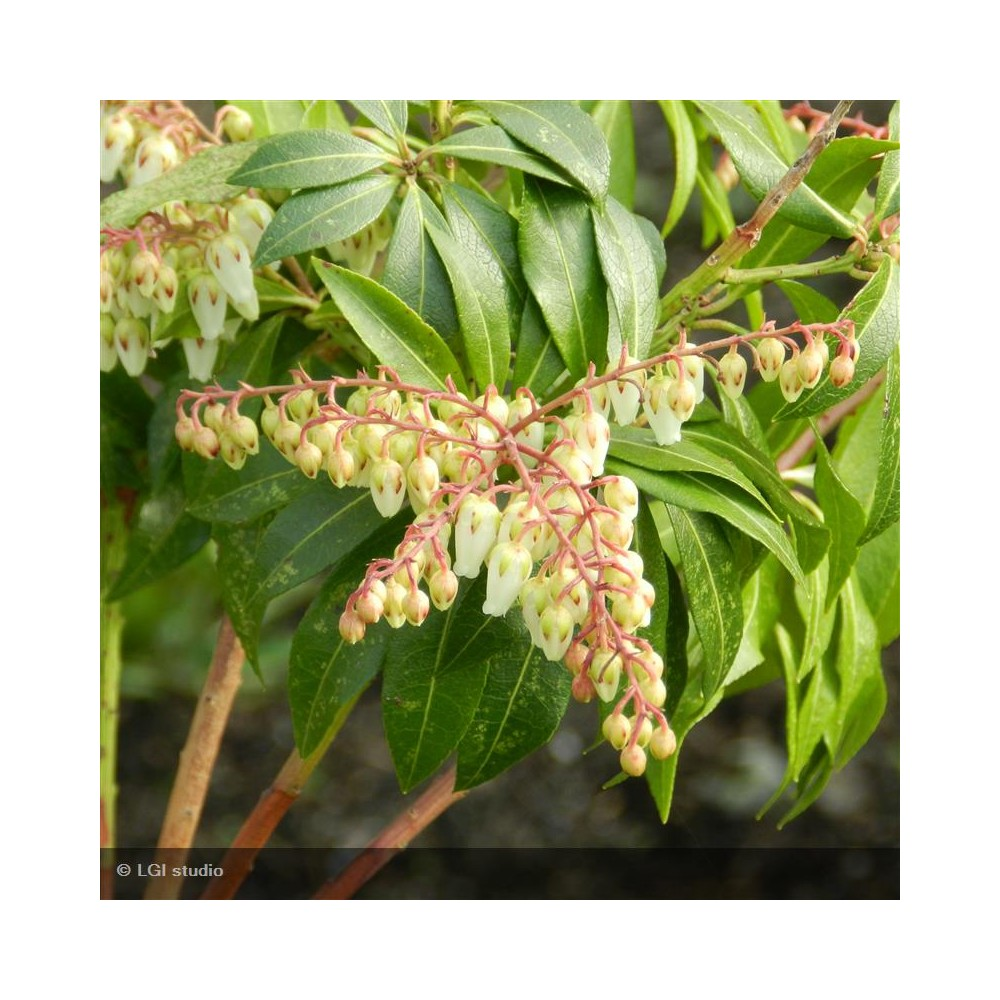 PIERIS japonica Forest Flame