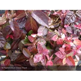 TRACHELOSPERMUM jasminoides Tricolor