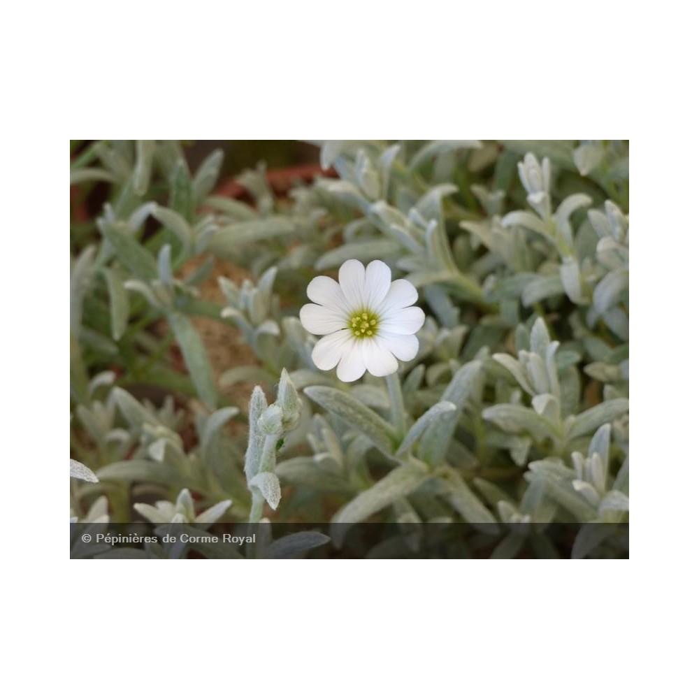 CERASTIUM tomentosum Silberteppich