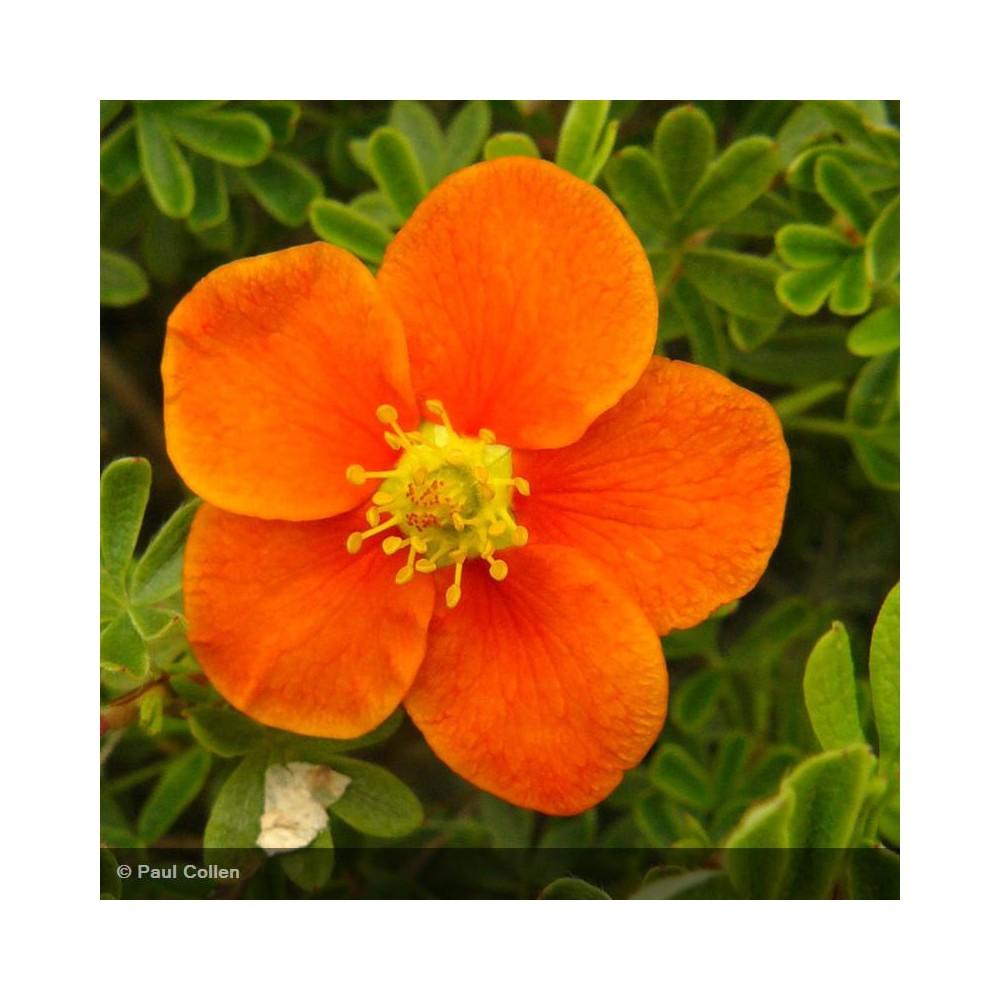 POTENTILLA fruticosa Hopley's Orange
