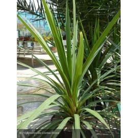 DRACAENA australis Peko