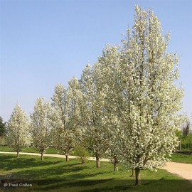 PRUNUS padus Coloratus