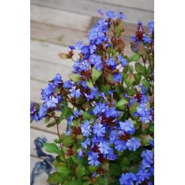 CERATOSTIGMA willmottianum Forest Blue®