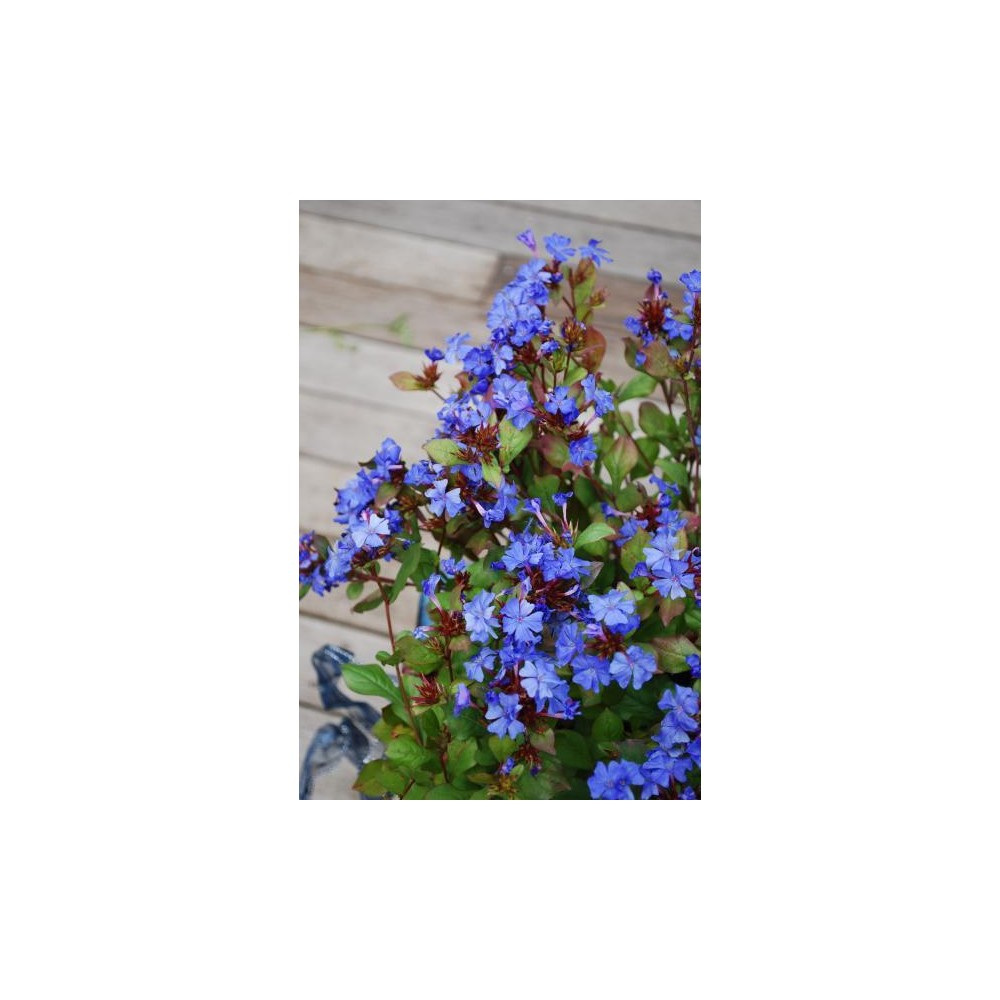 CERATOSTIGMA willmottianum Forest Blue®