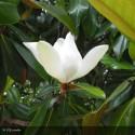 MAGNOLIA grandiflora Galissonniensis