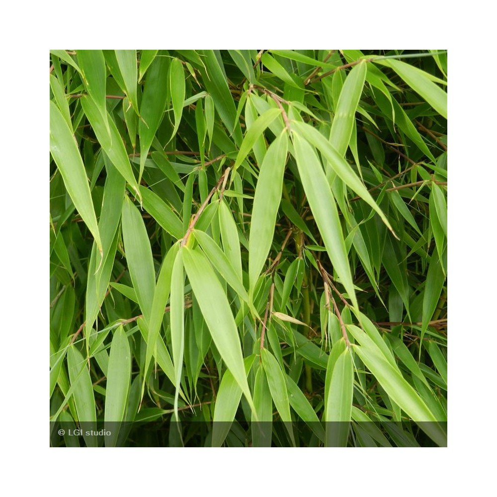 FARGESIA robusta Pingwhu