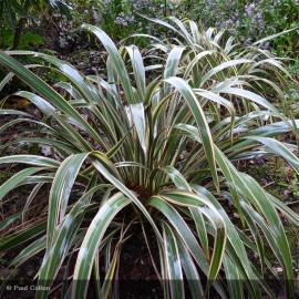 PHORMIUM cookianum Tricolor