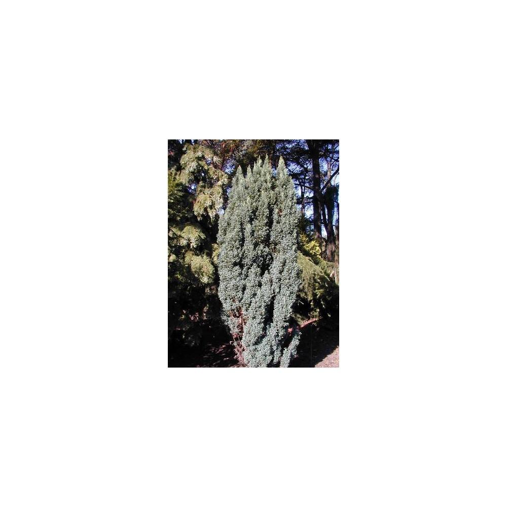 CHAMAECYPARIS lawsoniana Ellwoodii