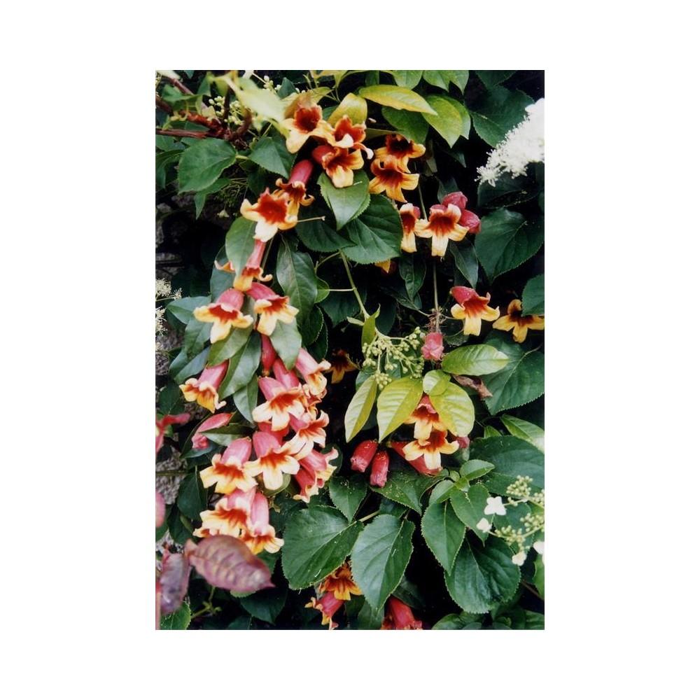 BIGNONIA capreolata
