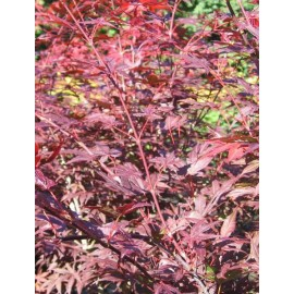 ACER palmatum Yezo-Nishiki
