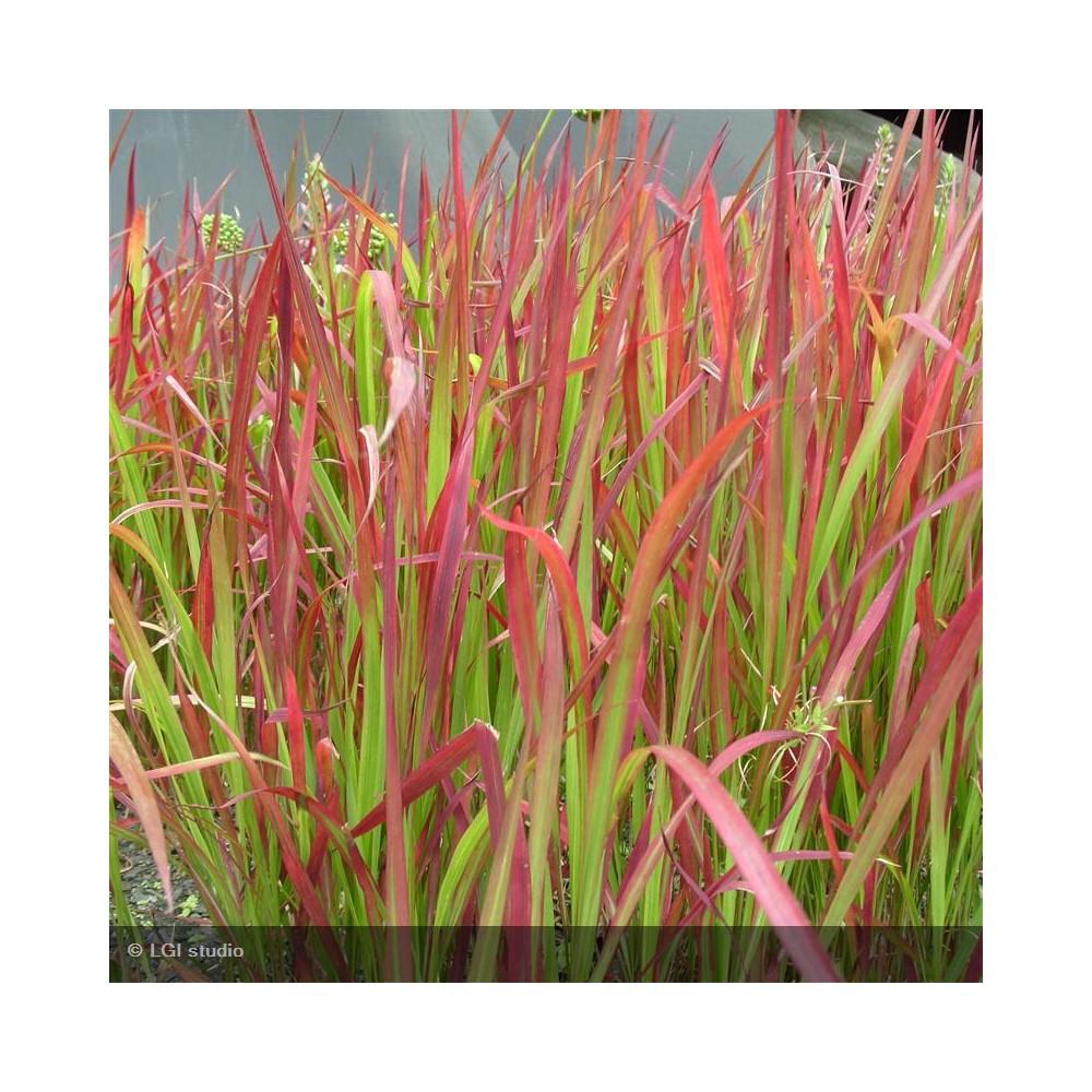 foto de IMPERATA cylindrica Red Baron