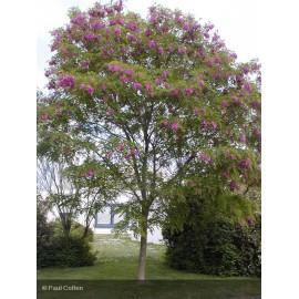 ROBINIA pseudoacacia Casque Rouge