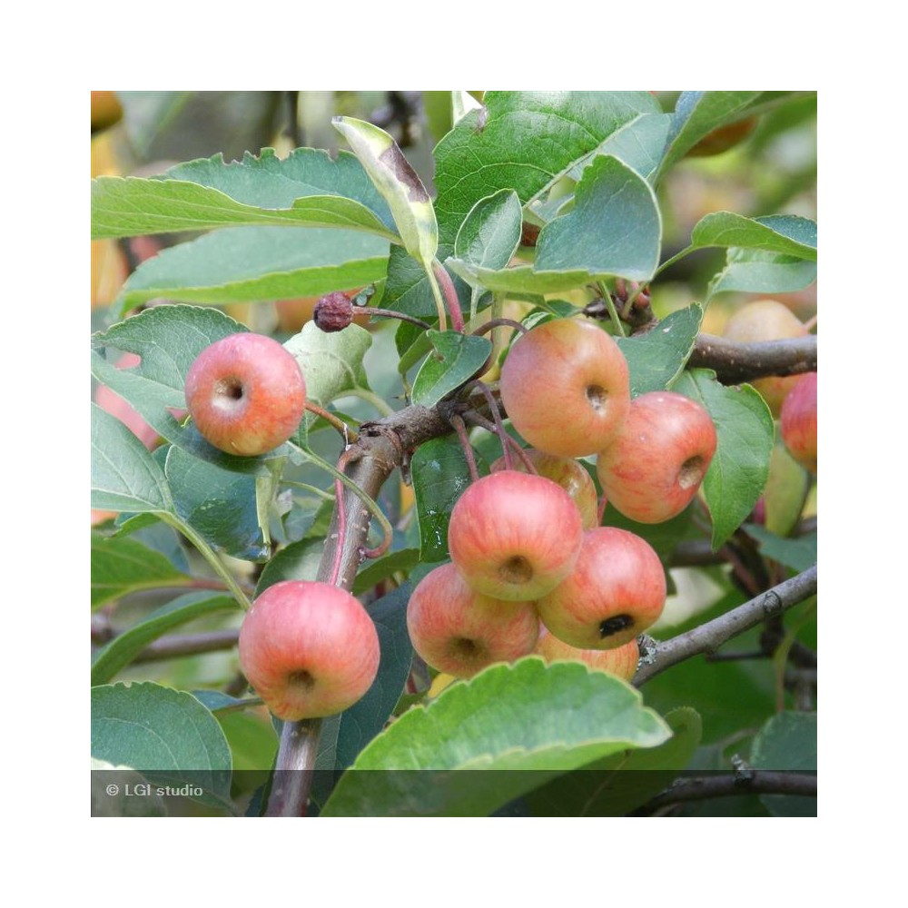 MALUS perpetu® Evereste