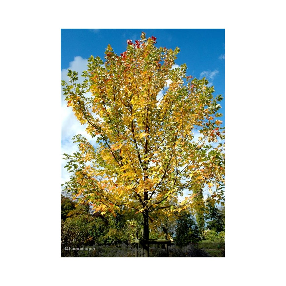 ACER x freemania Autumn Blaze®
