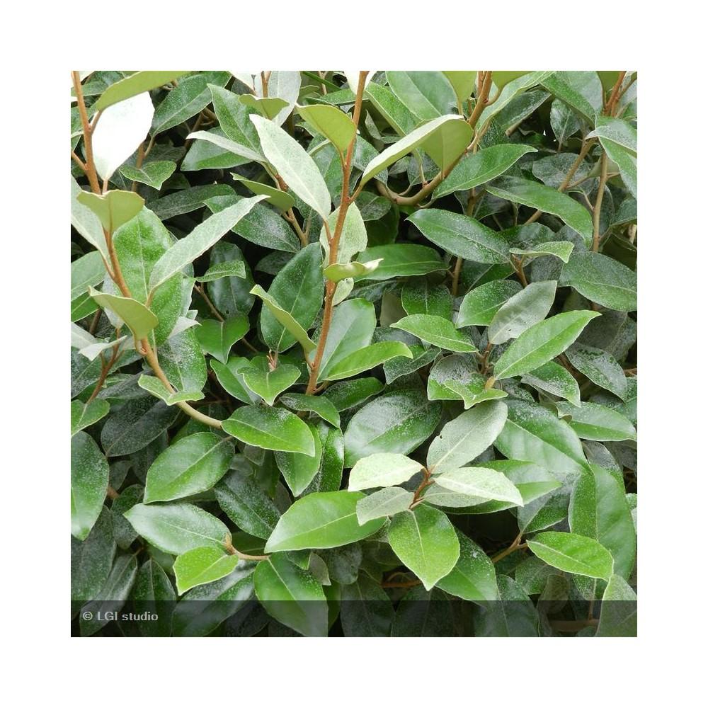 ELAEAGNUS x ebbingei Macrophylla