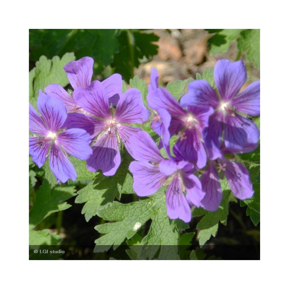 GERANIUM Blue Blood