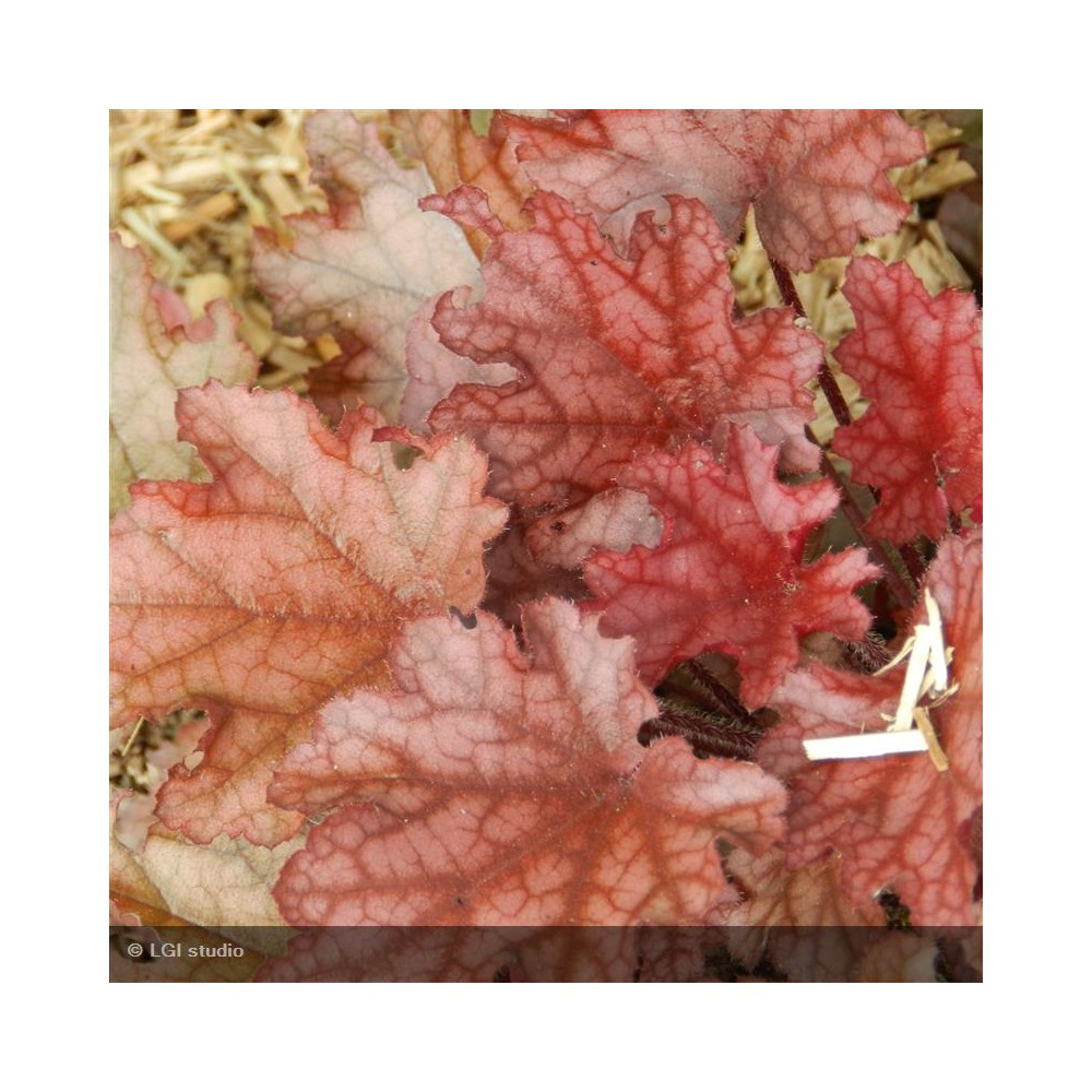 HEUCHERA Peach Flambee