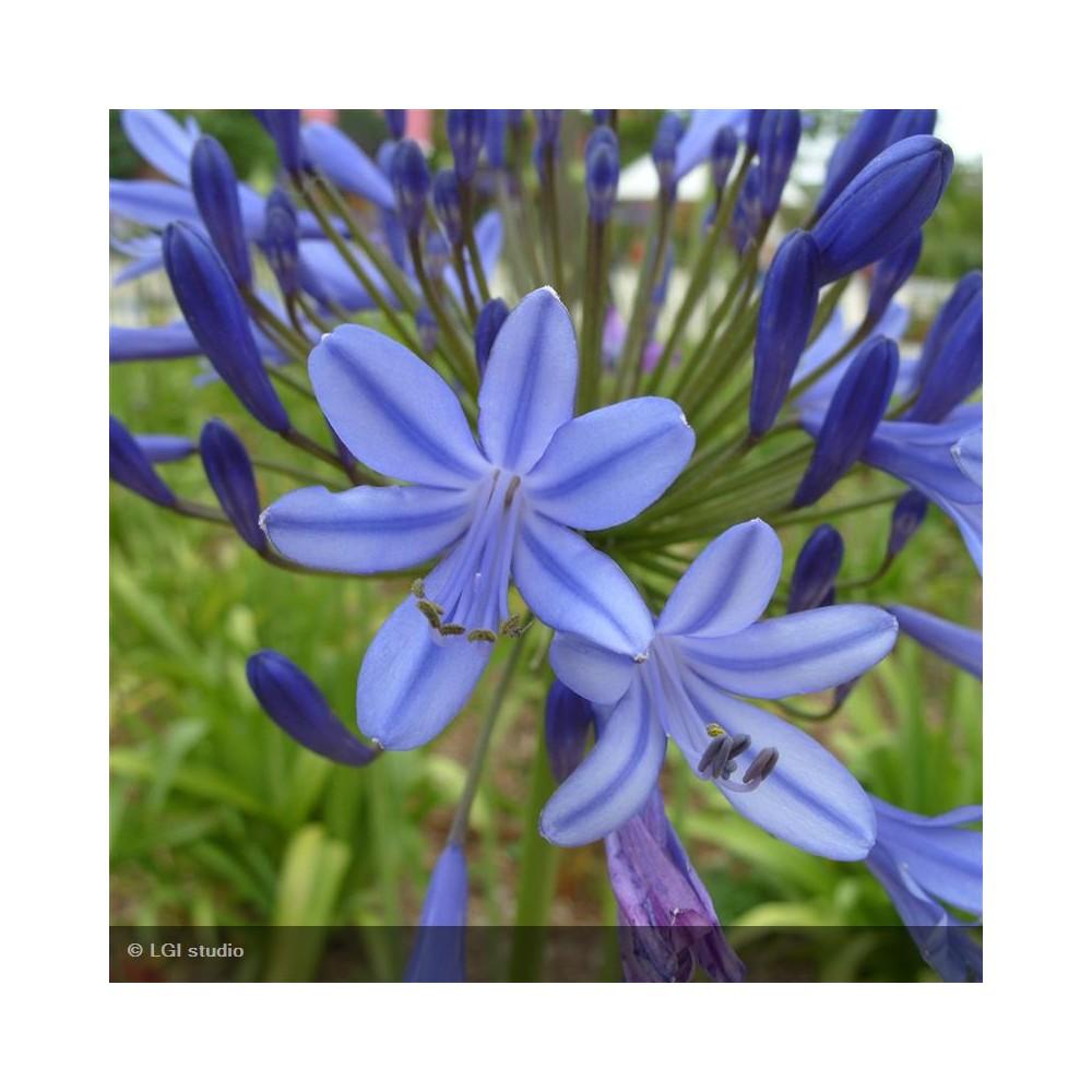 AGAPANTHUS africanus Bleue