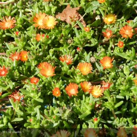 DELOSPERMA Wow Orange Wonder