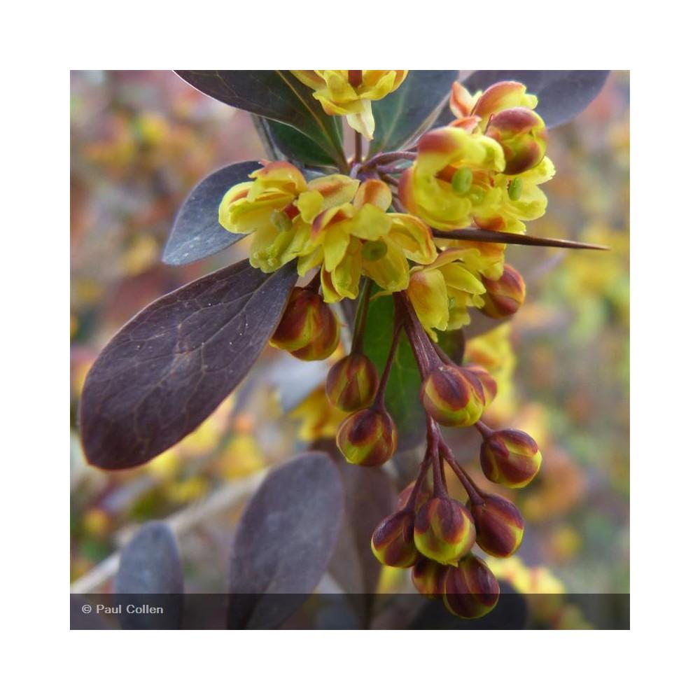 BERBERIS x ottawensis Auricoma