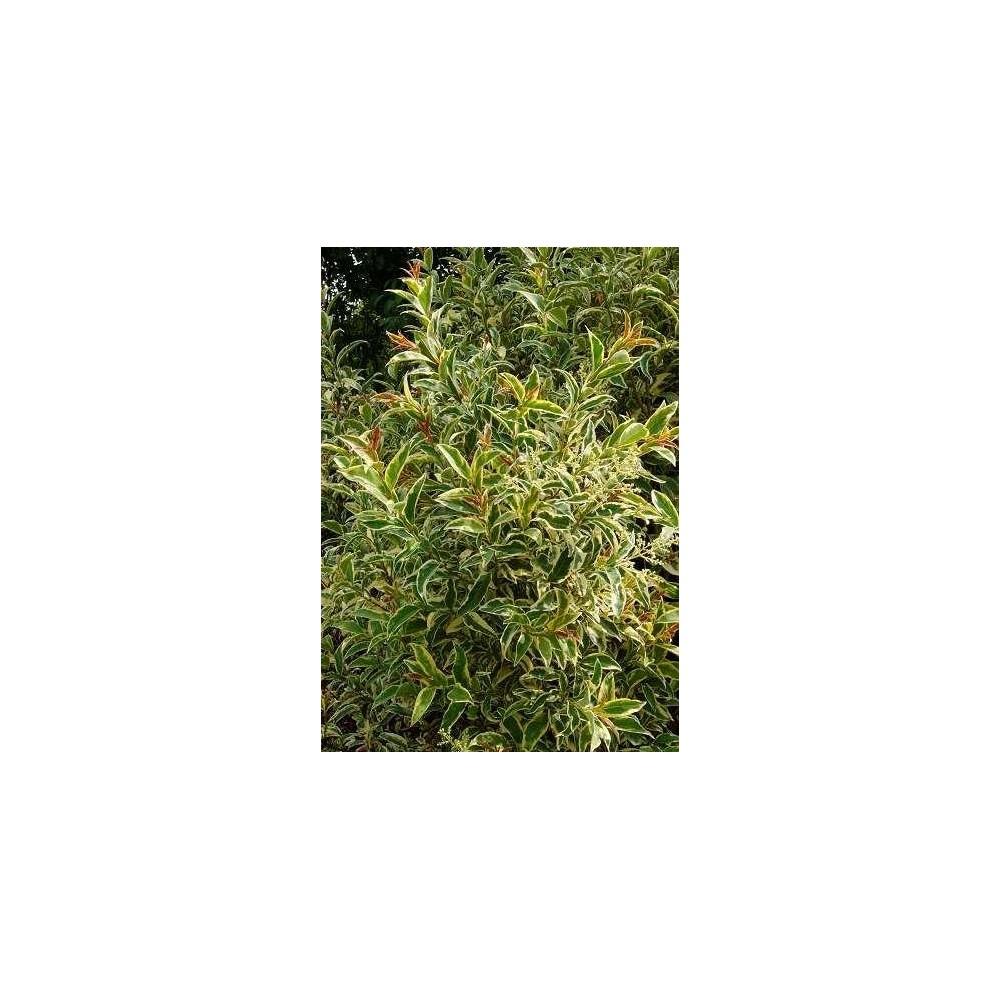 LIGUSTRUM japonicum Excelsum Superbum