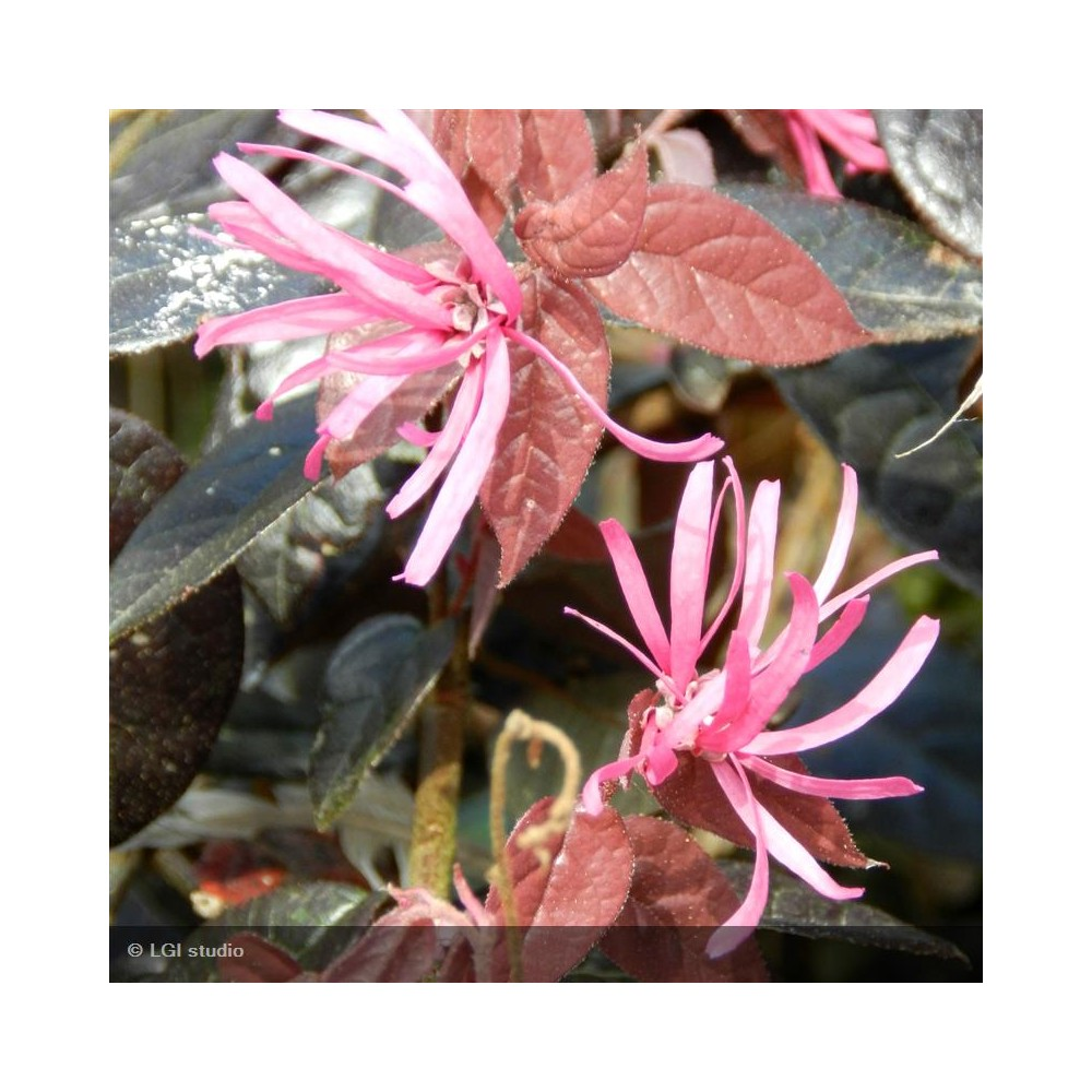 LOROPETALUM chinensis Fire Dance