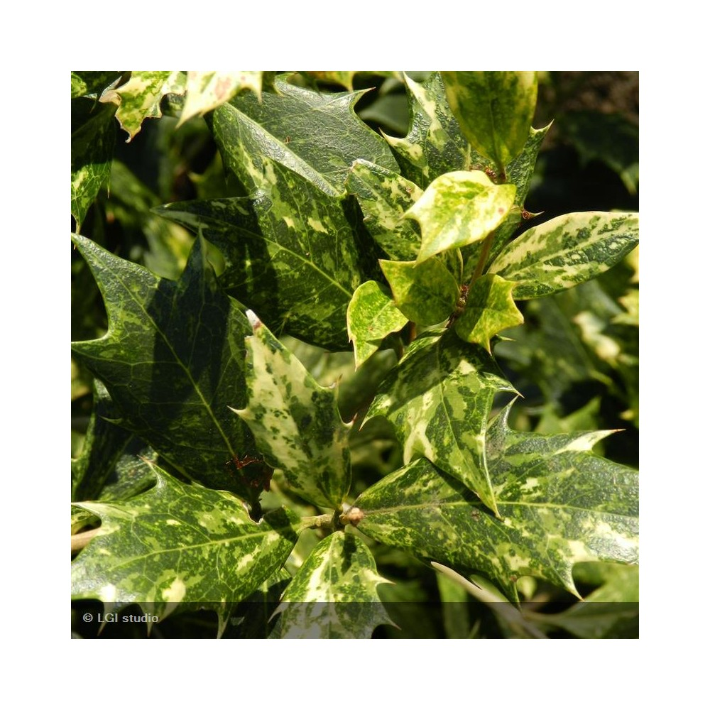 OSMANTHUS heterophyllus Tricolor