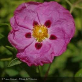 CISTUS x purpureus