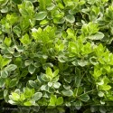 EUONYMUS japonicus President Gauthier
