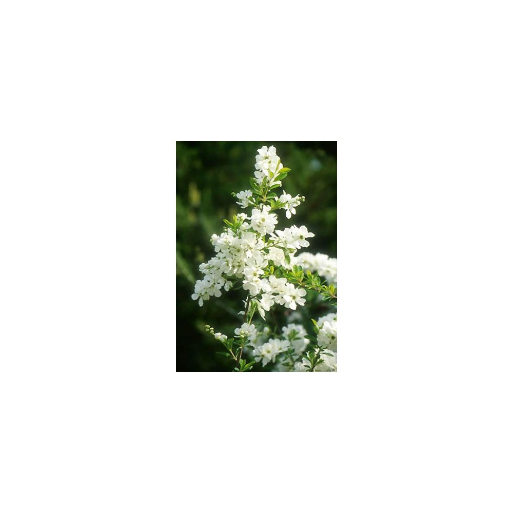 EXOCHORDA x macrantha The Bride
