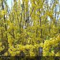 FORSYTHIA x intermedia Lynwood Gold
