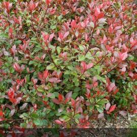 Les p pini res de corme royal large choix de v g taux p pini res de corme royal en charente - Photinia fraseri carre rouge ...