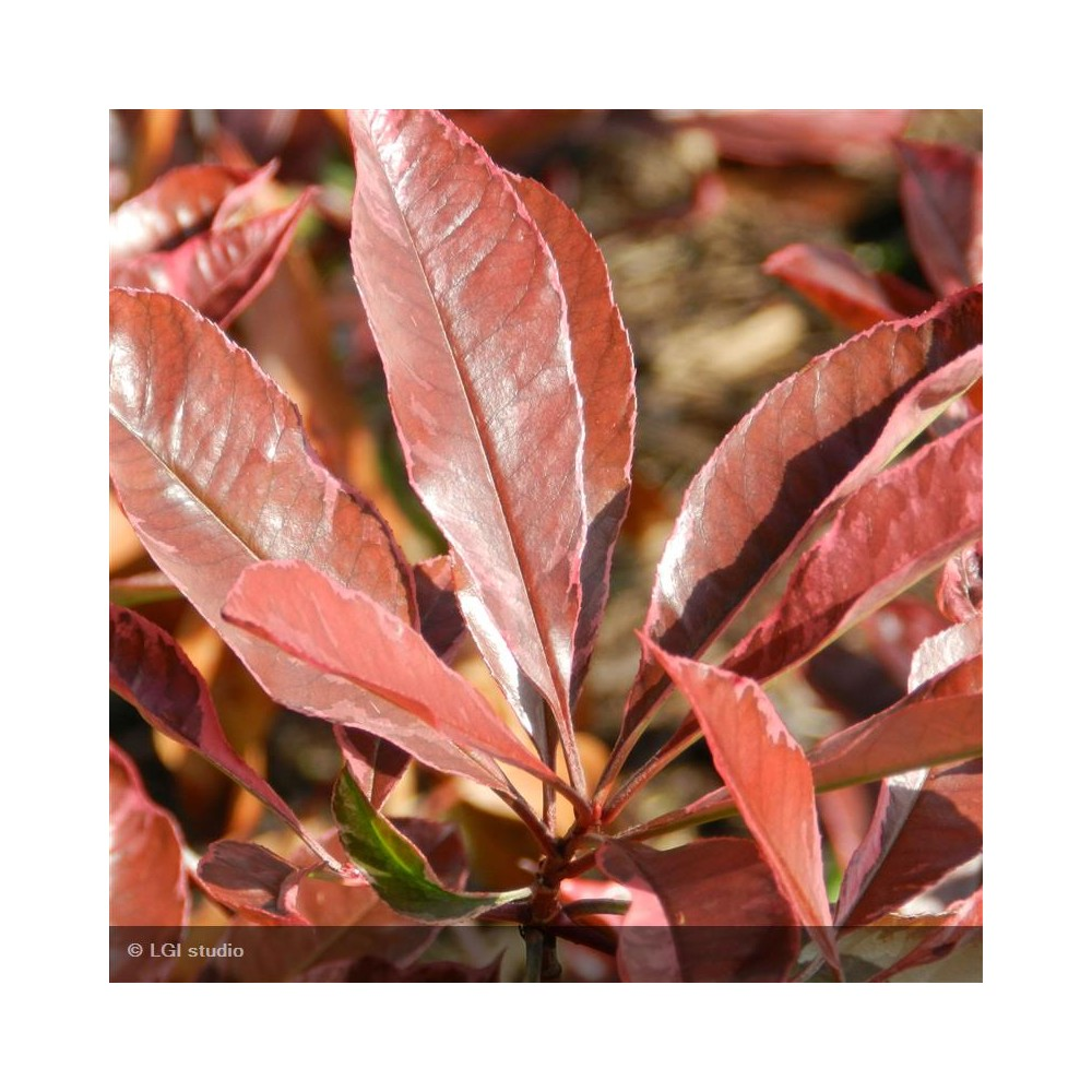 PHOTINIA x fraseri Pink marble®