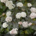 PHYSOCARPUS opulifolius Diable d'Or