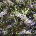 ROSMARINUS Corsican Blue