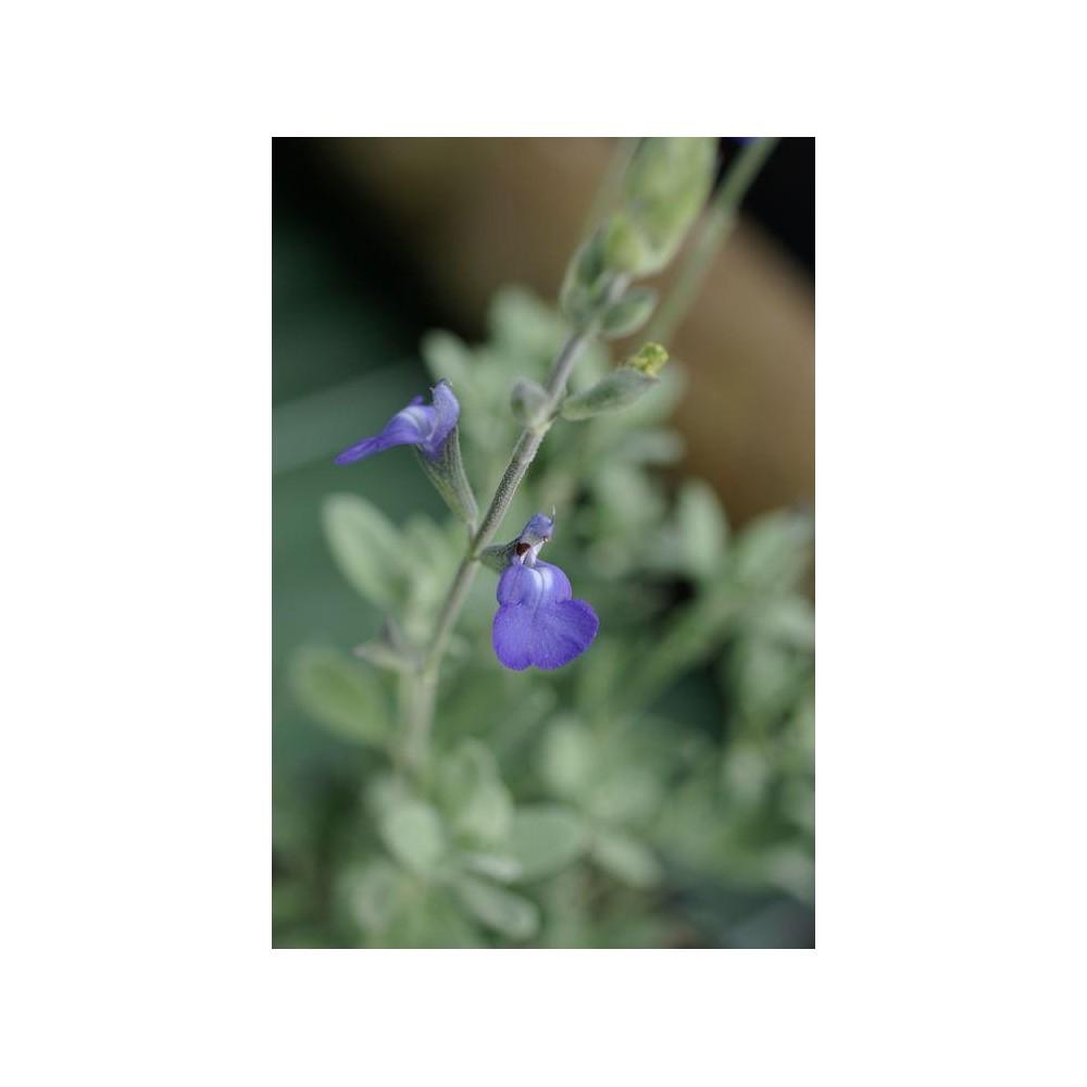 SALVIA microphylla Lissac Bleu