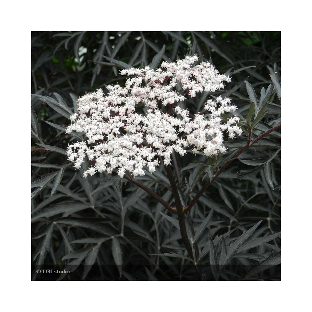 SAMBUCUS nigra Black Lace®