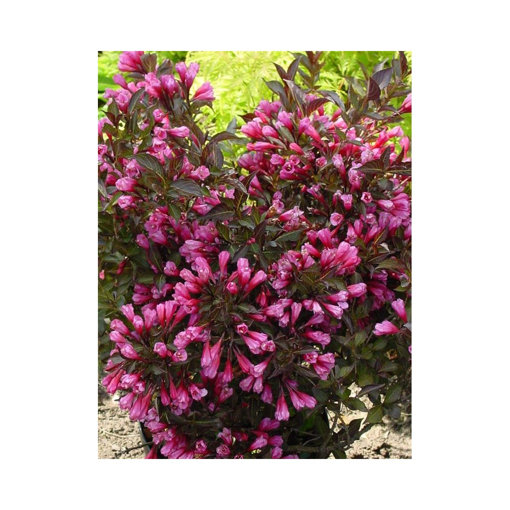 WEIGELA x Ruby Queen
