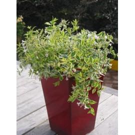 ABELIA grandiflora Hopleys®