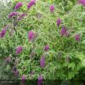 BUDDLEIA davidii Nanho Purple