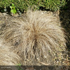 CAREX comens Bronze Form