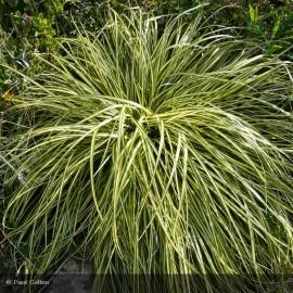 CAREX hachijoensis Evergold